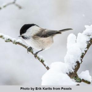 bird on snowy twig